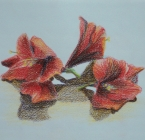 Amaryllis flower.