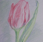 Tulip in colour