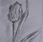 Drawing a tulip